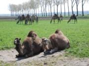 Voorbeeld afbeelding van Groepsactiviteiten Kamelenmelkerij Smits in Berlicum