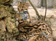 Voorbeeld afbeelding van Dierentuin Dierenpark Taman Indonesia in Kallenkote