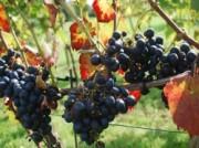 Voorbeeld afbeelding van Wijngaard, wijnproeverij Erve Wisselink Wijngaard in Eibergen