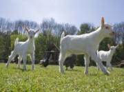 Voorbeeld afbeelding van  Boerderij bezoek,Kinderboerderij Geitenboerderij Ridammerhoeve in Amstelveen