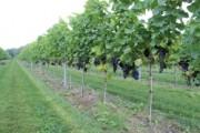 Voorbeeld afbeelding van Wijngaard, wijnproeverij Fruit en Wijngaard Ol Diek in Nieuwolda