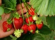 Voorbeeld afbeelding van Tuinen, Kunsttuinen Zelfpluktuin Van Reeuwijk Fruit & Flowers in Abbenes